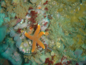 Reticulated starfish at Star Wall