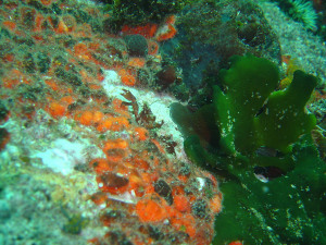 Red-chested sea cucumbers at A-Frame