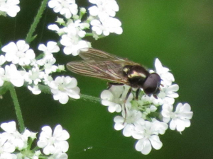 A dark hoverfly...