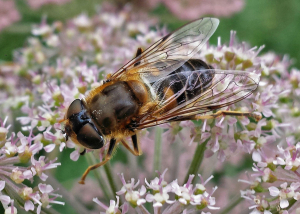 Drone Fly Eristalis