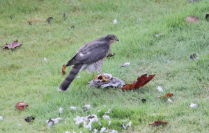Sparrowhawk Breakfast