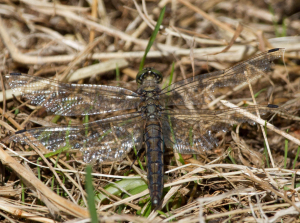 Female Black-tailed Skimmer?
