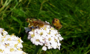 Yellow Dung Flies, Scathophaga stercoraria