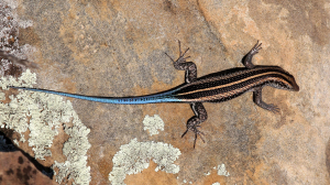 Rainbow Skink in Limpopo Valley