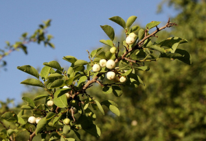 White-Berry Bush