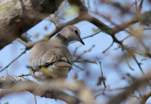 Turtle Dove in Lowveld