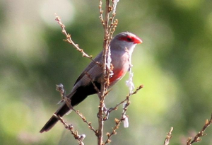 Common Waxbill at Graskop