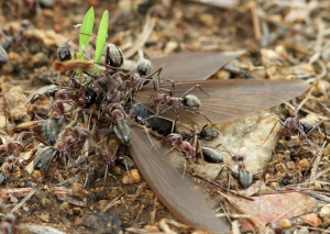 Ants collecting termite alates