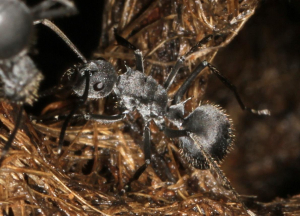 Grass nest ants in Lowveld