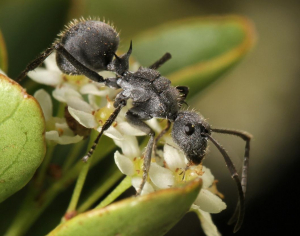 Ant visiting Gymnosporia flower