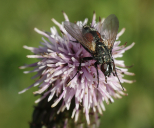 Fly seen on Thistle