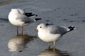 Common Gull found roosting with a group of Black-Headed Gulls