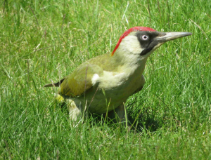 Ness's Green Woodpecker