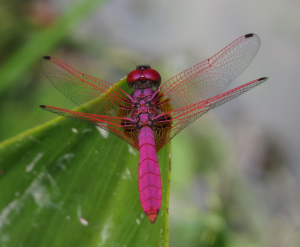 Crimson Dropwing Dragonfly