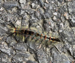 Tussock Moth Caterpiller