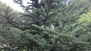 Unknown Conifer