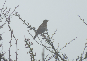 Song thrush singing in the mist