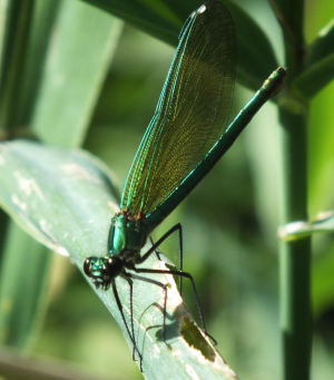 Female Banded Demoiselle??