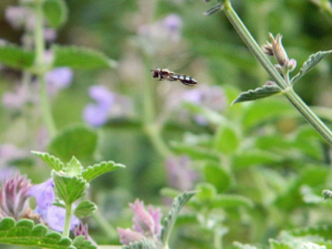 Unidentified hoverfly, Sunderland
