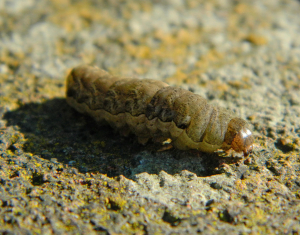 Angle Shades caterpillar – brown form