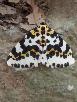 Moth Cornwall