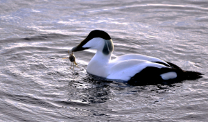 Eiders on Loch Ryan