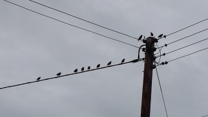 starlings on telegraph