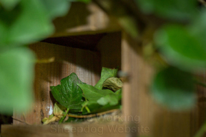 Fresh Ivy Leaves Being Stored in Disused Nest Box