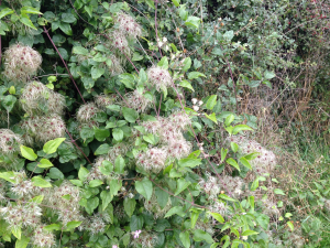 Creeping plant along hedgerow