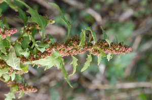 Red Goosefoot