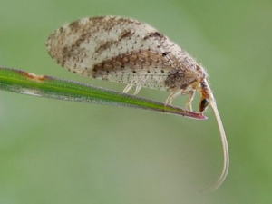 Lacewing?