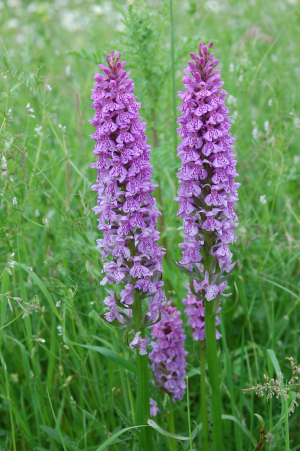 Common Spotted Orchid