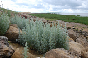 Sea Wormwood