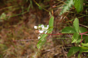 Bramble sp