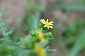 Groundsel rayed Form
