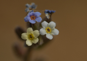 Changing forget me Not
