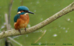 Kingfisher 31.5.10