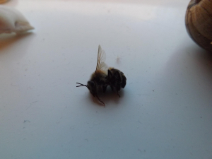 Unidentified bee(or wasp?)