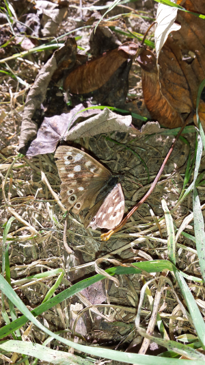 Speckled Wood butterfly flitting between fallen leaves in dappled sunlight  by the River Severn.