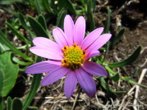 Trailing Pink Daisy