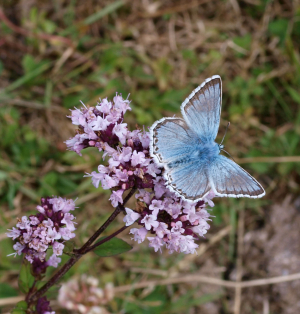 Chalk Hill Blue - male