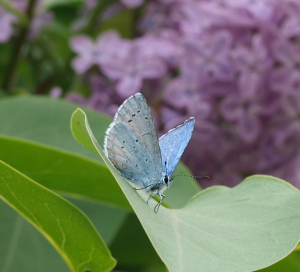 Holly Blue - Male