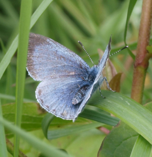 Holly Blue - female