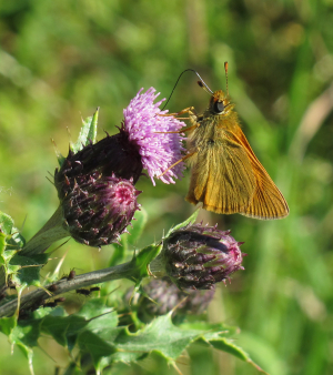 Small Skipper probably