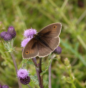 Meadow Brown - male