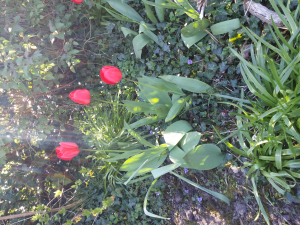 red flowers, tulips?