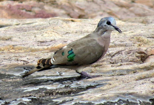 Emerald Spotted Wood Dove ( Turtur chalcospilos )