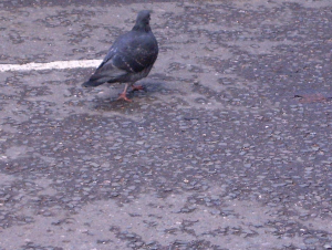 Pigeon Camouflaged while crossing street- Stepney London UK