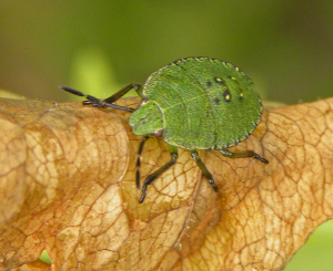 bug - small, green