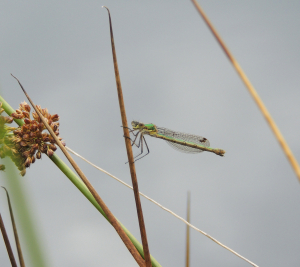 greenish damselfly